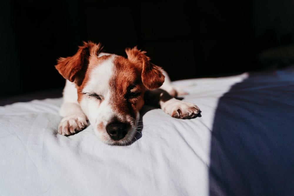 Pathologie chien